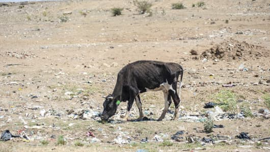 Livestock in Free State, South Africa are struggling to find water due to the drought.