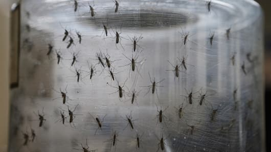 Aedes aegypti mosquitos are seen in a lab at the Fiocruz institute on January 26, 2016 in Recife, Pernambuco state, Brazil.