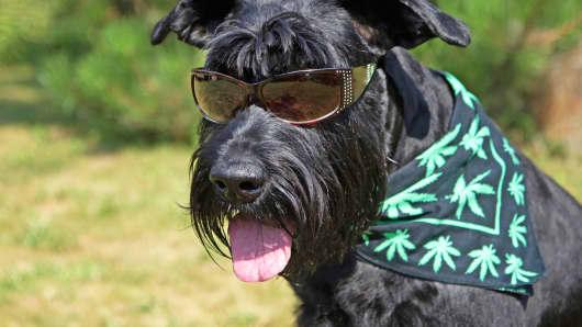 Dog and marijuana scarf