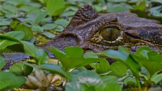 An American Crocodile in Costa Rica.