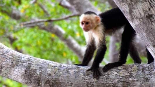 A capuchin monkey from Costa Rica