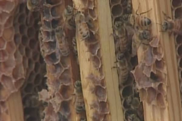 More honeybees are dying