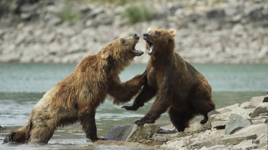 Bears in a fight, colliding