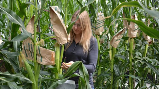Monsanto scientist inspecting corn plants