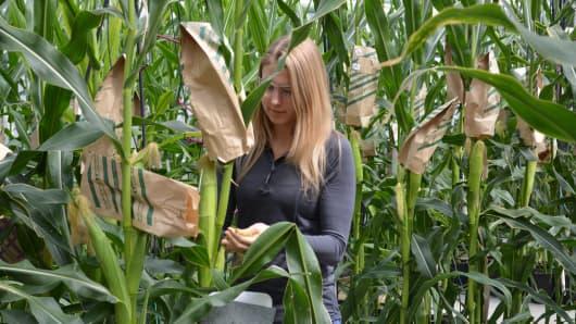 Monsanto scientist inspecting corn plants