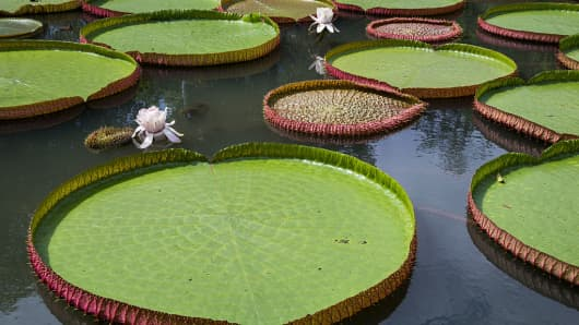 victoria-water-lily-1.jpg