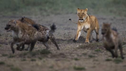 Lioness chasing hyenas