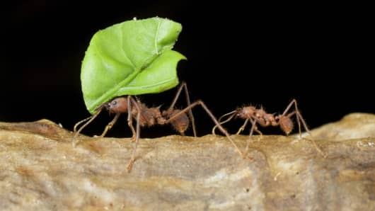 Two ants carrying large leaf