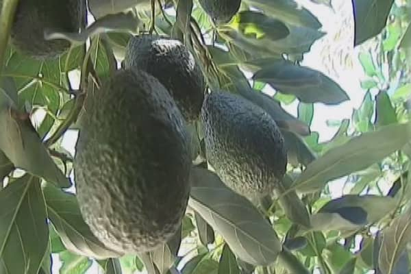Soaring avocado demand fuels crime wave in New Zealand