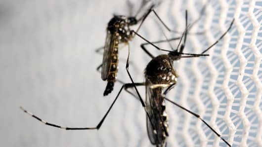 Deadly carriers of disease: Aedes aegypti mosquitoes