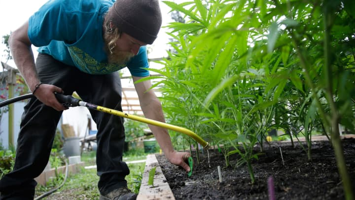 A cannabis farmer applies fertilizer to a crop of plants in Humboldt County, California.