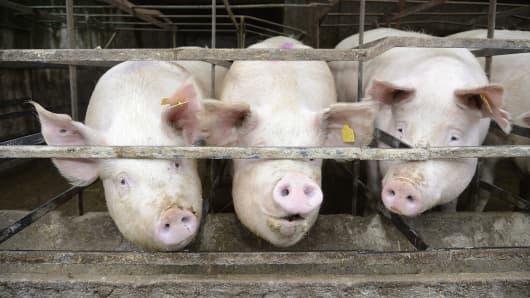 Pigs in a pen/barn