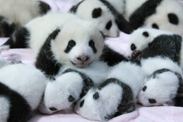 Giant panda cubs lie in a crib at the Chengdu Research Base of Giant Panda Breeding in September 2013.