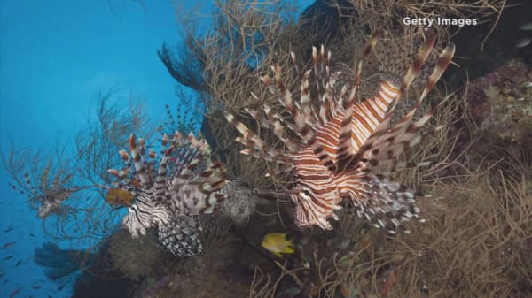 Lionfish flood Florida's coast and local markets