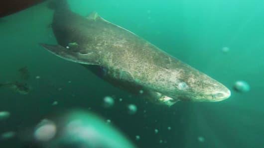 A Greenland shark swimming in northwestern Greenland.