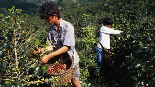 Boys picking coffee beans in the Orosi valley, Costa Rica, on April 23, 2016.