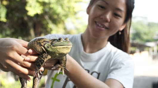 Jurong Frog Farm's Chelsea Wan holds up an American bullfrog.
