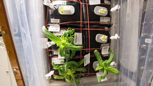 "Plants growing in ""pillows"" in the International Space Station's Veggie facility."