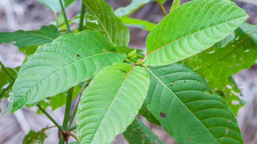 Kratom is made from the leaves of Mitragyna speciosa, a Southeast Asian tree related to coffee. Although it's receiving pushback from the DEA, scientists say kratom contains alkaloids that have the potential to reduce pain without addiction.