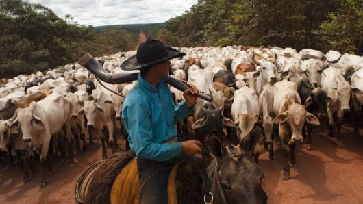 Cowboy guides Herd of cattle at South Para State in Brazil
