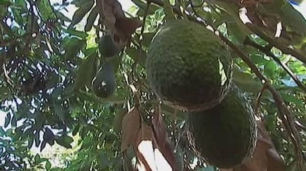 Avocado supply shrinks, prices soar