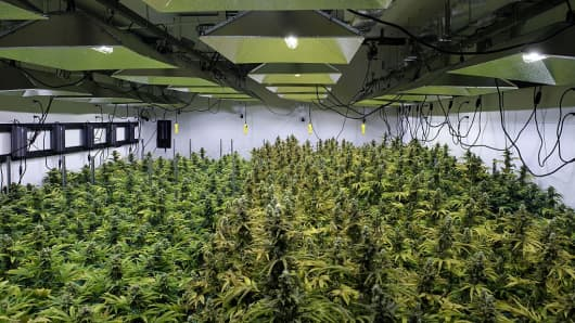 The canopy of a marijuana crop is seen at Alternative Solutions, a D.C.-area medical marijuana producer, April 20, 2016 in Washington, D.C. Security cameras and barbed wire suggested this was the right place, an old warehouse on a dead-end street not far from the White House housing one of the few legal marijuana farms in the U.S. capital.