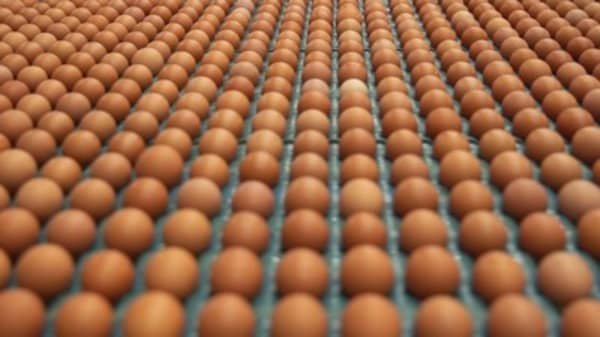 With robotics, 201,600 eggs per hour for this wholesale retailer