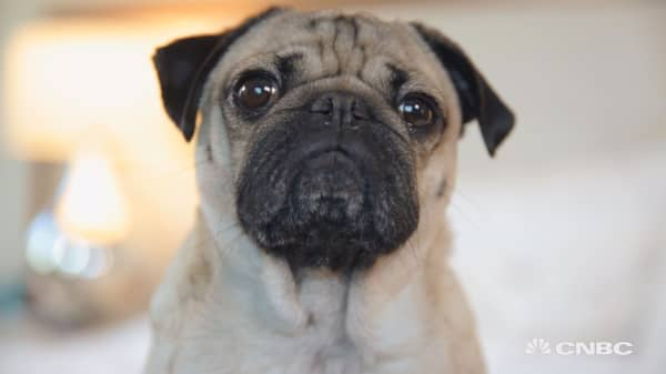 This woman quit her job to make her pug famous