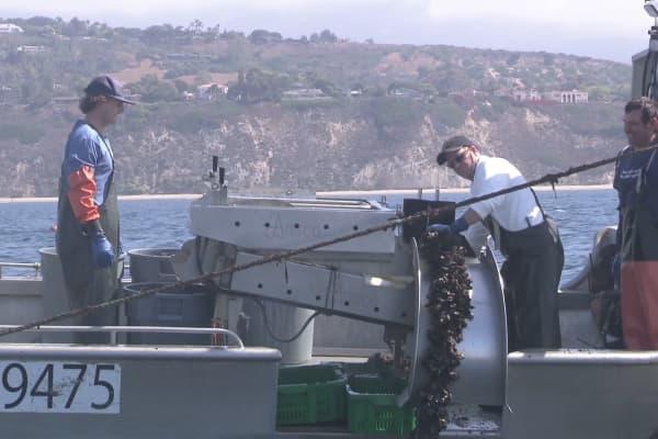 Billionaire Tilman Fertitta tries his hand at stripping farmed oysters off the line in Santa Barbara, California as Bernard Friedman (right) looks on.