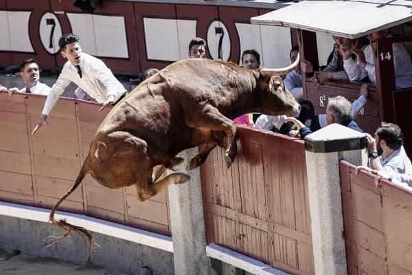 A bull jumps over the arena fences performs a pass to a bull during the 'Goyesca' bullfight at Las Ventas bullring in Madrid on May 02, 2016.