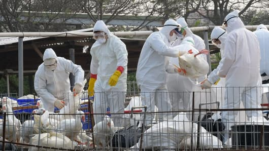 Staff from the Animal Disease Control Center put geese into plastic bags as they cull the birds to help prevent the spread of avian flu in Taiwan on January 17, 2015.