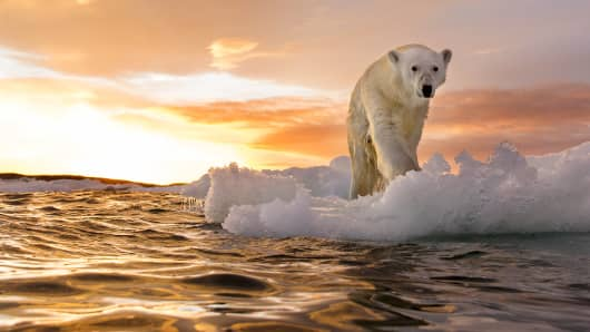A polar bear in Repulse Bay, Nunavut Territory, Canada.