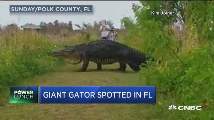 Giant Dinosaur Like Gator Spotted In Florida