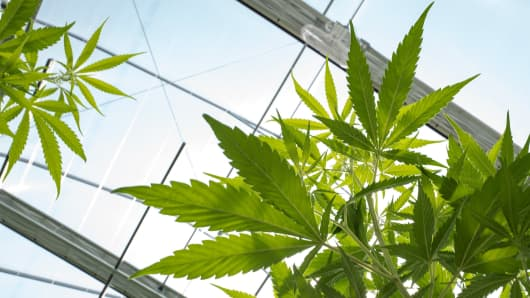 Cannabis plants grow in the greenhouse at Vireo Health's medical marijuana cultivation facility, August 19, 2016 in Johnstown, New York.