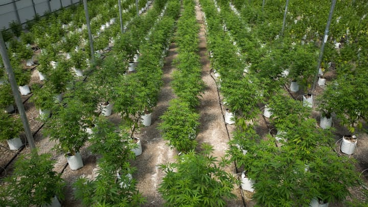 Rows of cannabis plants grow in the twenty thousand square foot greenhouse at Vireo Health's medical marijuana cultivation facility.