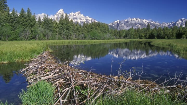 North American beaver (Castor canadensis) beaver dam in the Grand Teton National Park, Wyoming, USA.