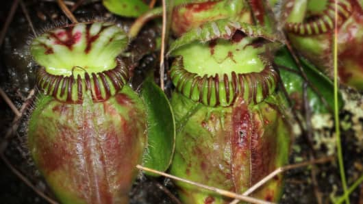 A close-up of the pitchers of Cephalotus follicularis, the Australian pitcher plant. A soup of digestive fluids sits at the bottom of these waxy pitchers, breaking down the flesh and exoskeletons of insects that fall in. The plant was photographed in Western Australia, the only place in the world where the species is known to naturally occur.