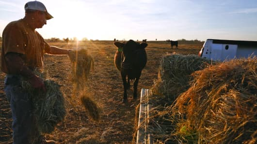 Alabama farmer David Bailey tosses hay to one of his remaining cows, in Dawson, Ala. Bailey had to sell off half of his cattle herd, more than 100 animal due to drought, because he doesn't have enough hay to feed them through the winter.