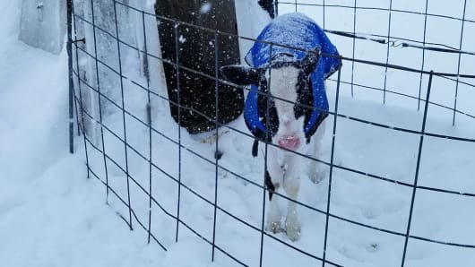 Dairy calf with a winter coat in St. Johnsville, New York.