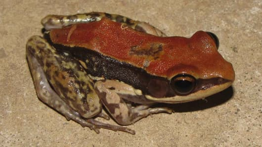 The Hylarana malabarica frog, similar to the Hydrophylax bahuvistara frog.