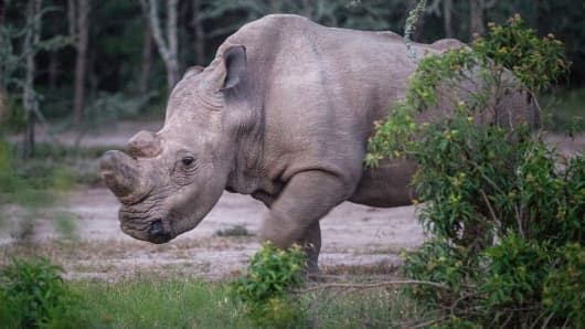 Sudan, the last male northern white rhino left on the planet, in Kenya.