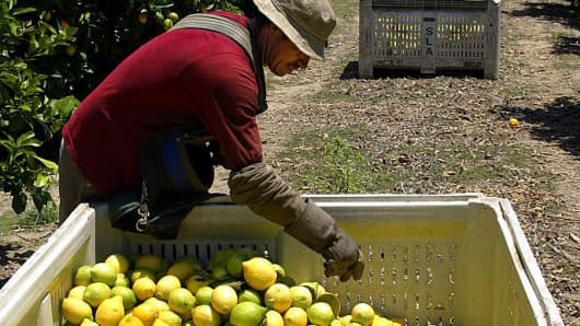 Lemons getting harvested in Ventura County, California, a major citrus-growing region in the state.