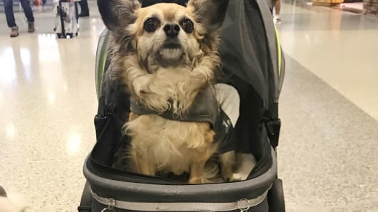 Angel, a therapy dog, rolls around Dallas/Fort Worth International Airport in his custom stroller.