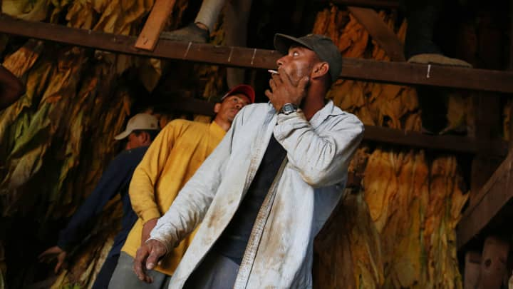 A worker smokes a cigarette while hanging Burley tobacco in a barn during harvest at Tucker Farms in Shelbyville, Kentucky.