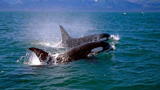 Killer Whales are stocking Alaskan fishing boats. (File photo).