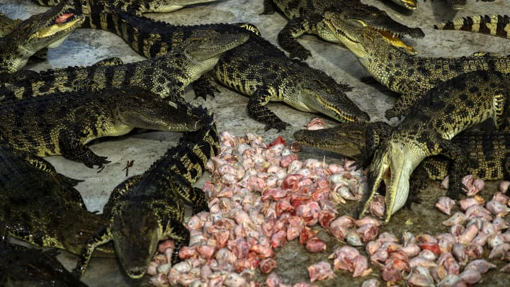 Crocodiles eat chicken heads at Sriracha Tiger Zoo in Chonburi province, Thailand.