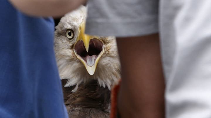 A bald eagle that received care at the Carolina Raptor Center after an injury was released with assistance, November 12, 2012.