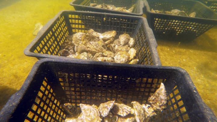 Oysters are pictured in the water on the Re Island, where an automatic oyster vending machine is set at l'huitriere de Re in Ars en Re, France.