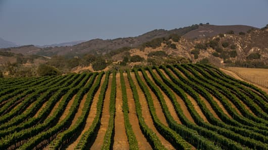 Rows of grapevines at Happy Canyon Vineyard during a drought on August 6, 2016, near Santa Ynez, California.