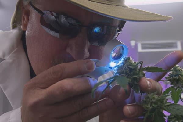 Dan Osborne inspecting a cannabis plant.